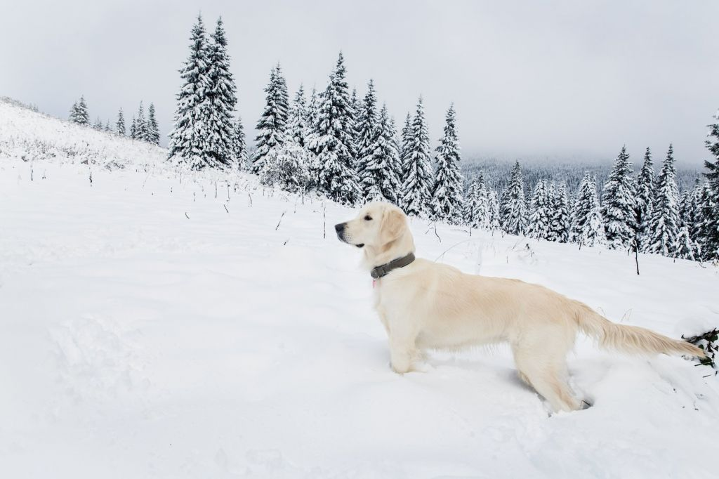Golden Retriever im Winter, © Iurii Sokolov / fotolia.com