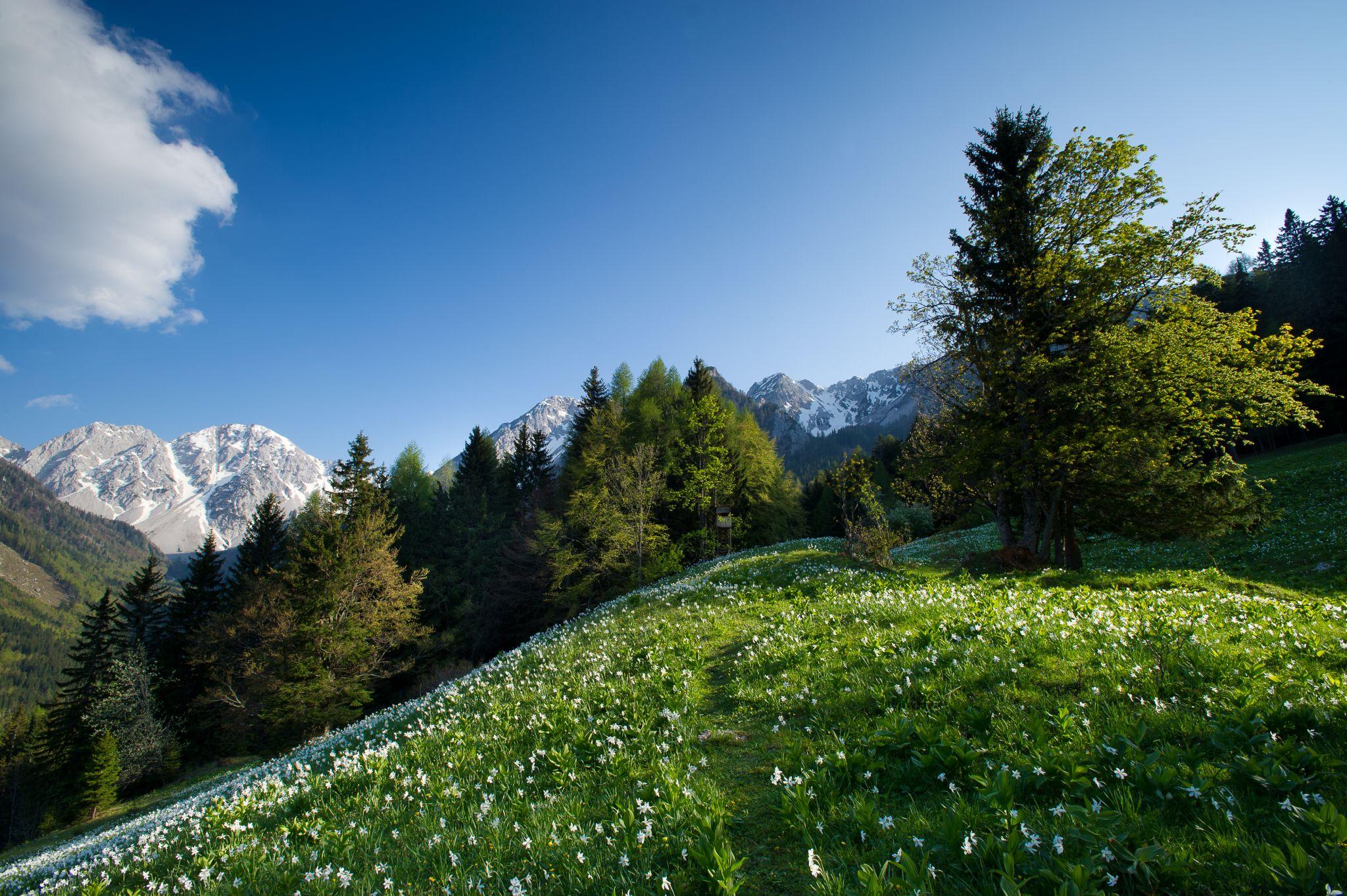 Narzissenwiese, © Carnica-Region Rosental, Franz Gerdl