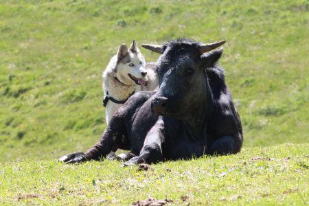 Wandern mit Hund, Kuhkontakt, © Österreichs Wanderdörfer, Corinna Widi