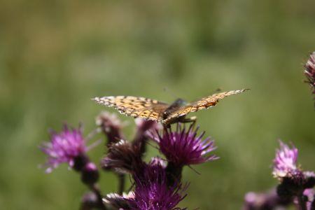 Schmetterling, © Österreichs Wanderdörfer, Corinna Widi