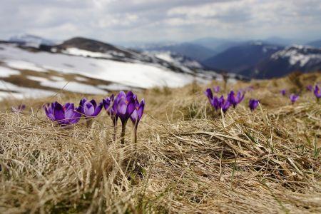 Frühlingserwachen, Krokusse auf Wiese, © Pixabay