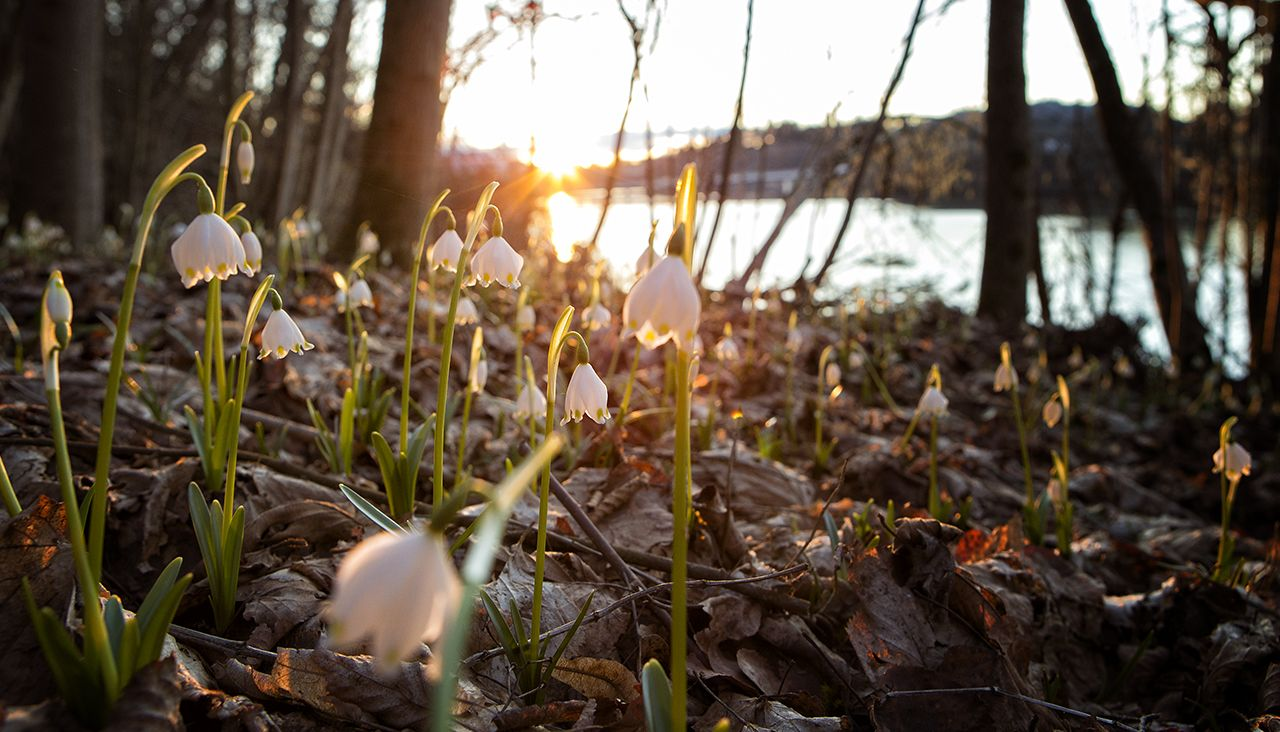 Frühlingsknotenblumen am Klopeiner See, © Jörg Schmöe