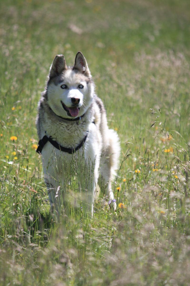 Hund auf der Alm (c)Corinna Widi