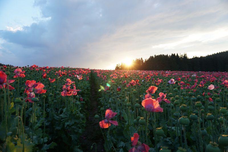 Mohnfeld im Sonnenuntergang Armschlag©Karmen Nahberger