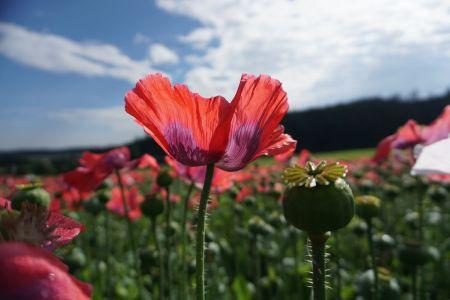 Rote Mohnblume Armschlag©Karmen Nahberger