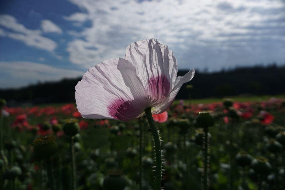 Weiße Mohnblume Armschlag©Karmen Nahberger