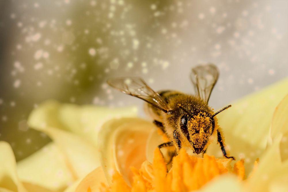 Biene auf Blume, Pixabay