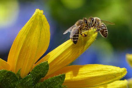 Bienen auf Sonnenblumen, Pexels