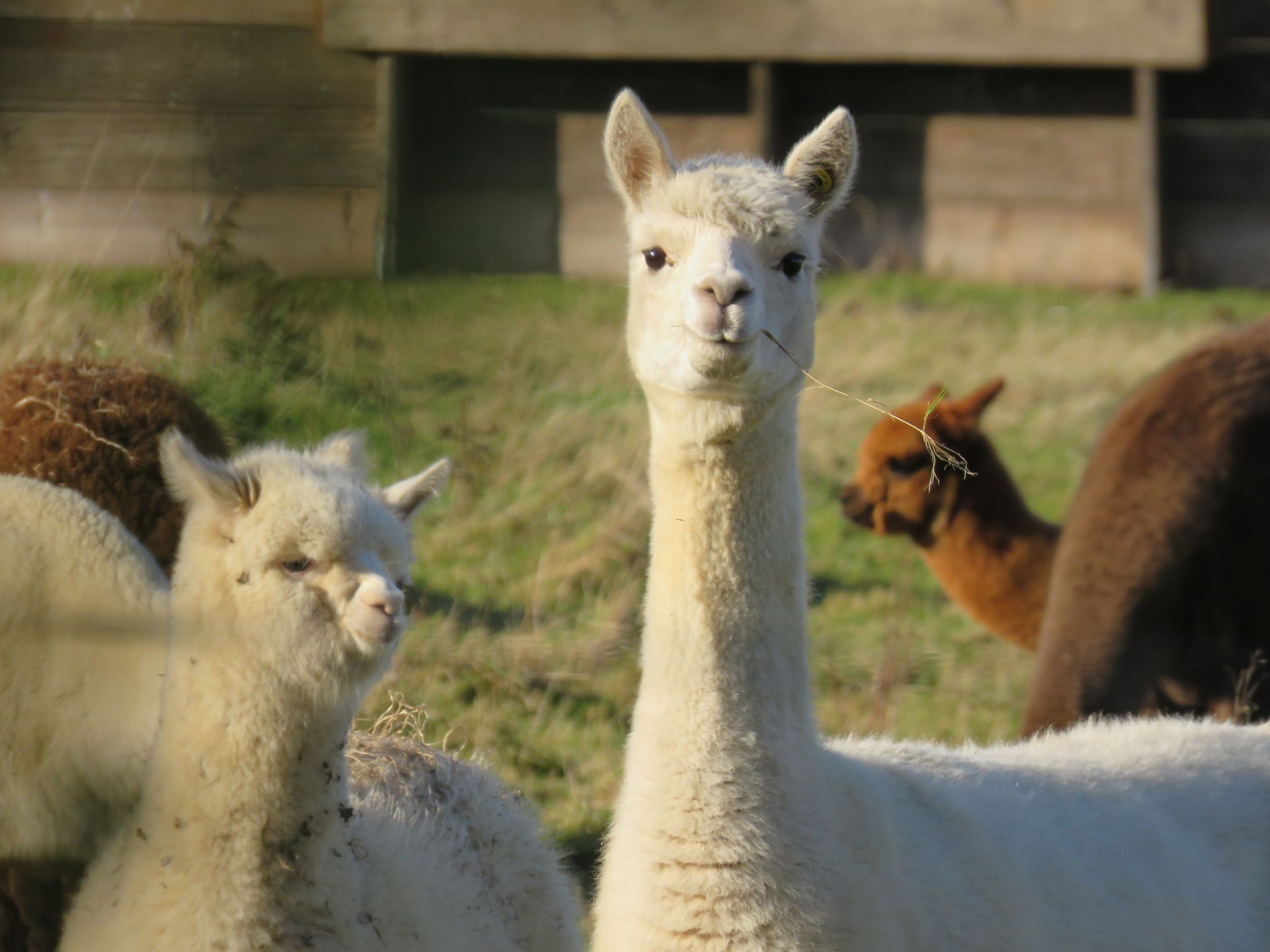Lamas, Unsplash