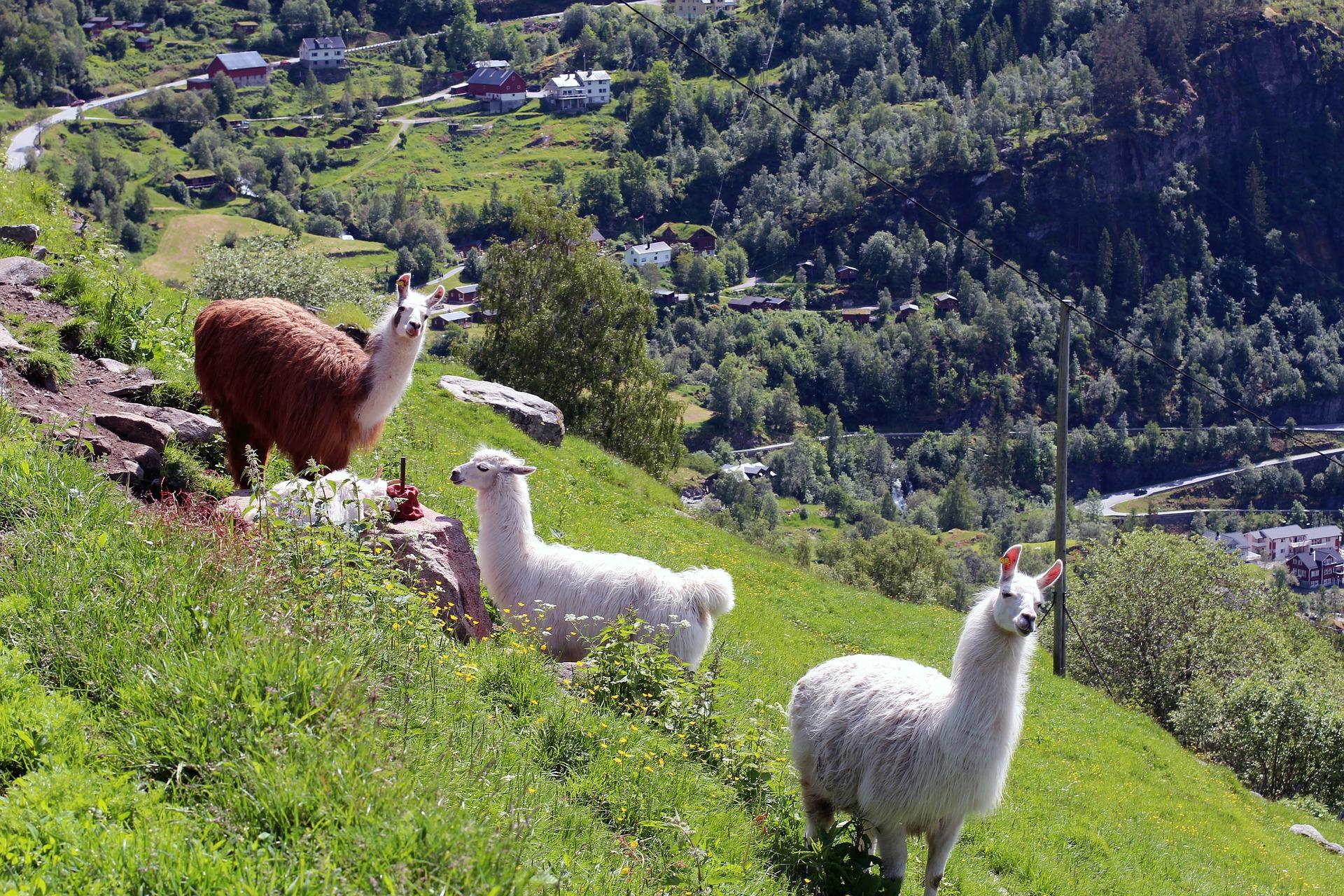 lamas auf einer wiese, pixabay