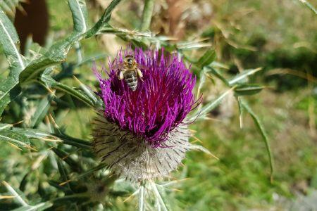 Biene auf Distel, © Elisabeth Pfeifhofer