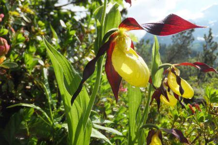 Frauenschuh, Orchidee © TVB Filzmoos, Alfred Hahn