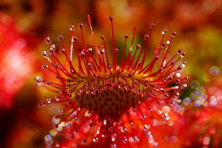 Rundblättriger Sonnentau, Pixabay