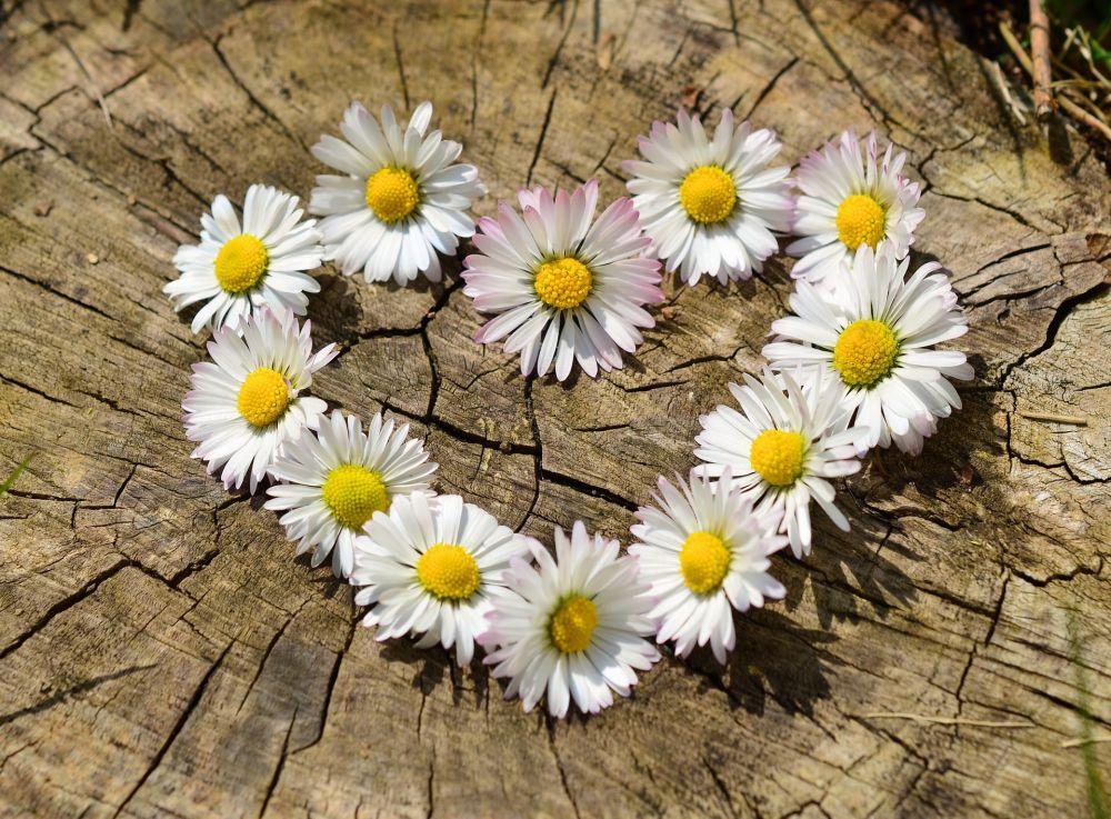 Herz aus Gänseblümchen, Pixabay
