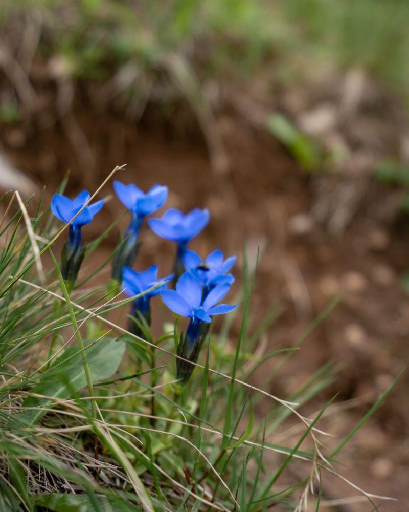 Bergblumen im Wildnisgebiet Dürrenstein
