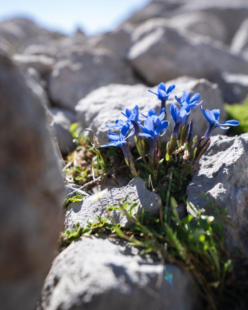 #2 Alpenblumen auf der Gletschwerwanderung