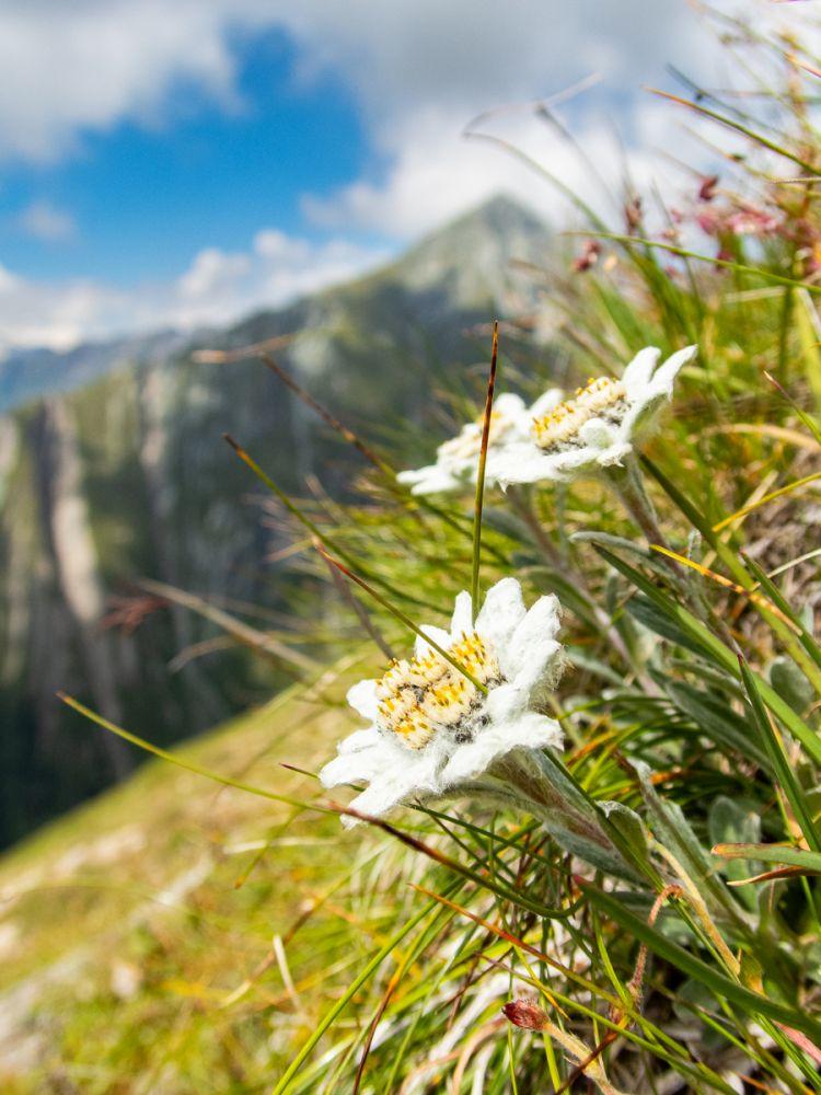 #2 Edelweißwiesen