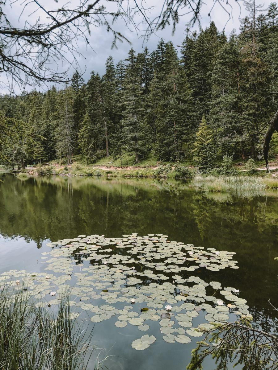 #3_Seerosen auf dem Möserer See_Olympiaregion_Seefeld_(c)bea_froehlich